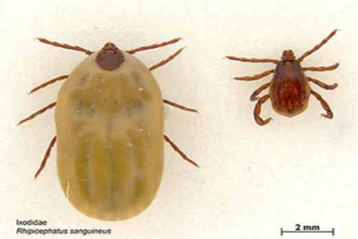 Brown Dog Tick In House