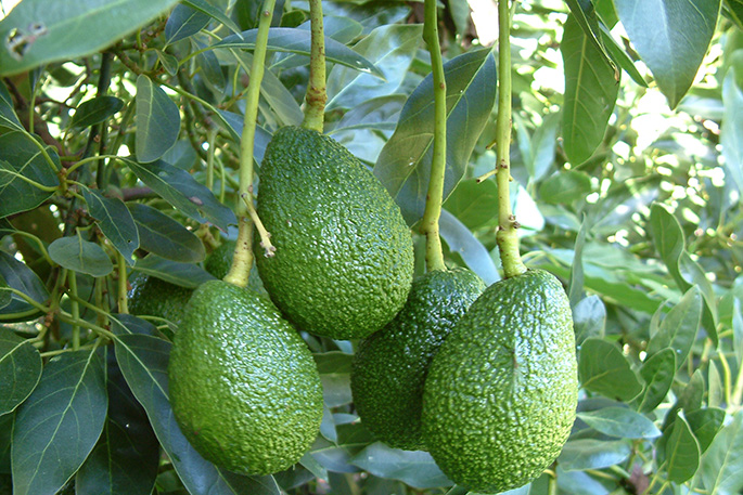 New Zealand's Avocado Crime Wave Returns as Thieves Turn to Social Media