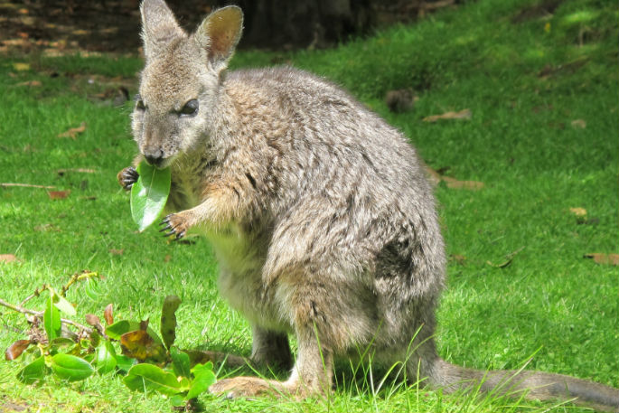 Sunlive Recent Wallaby Sightings Wanted The Bay S News First