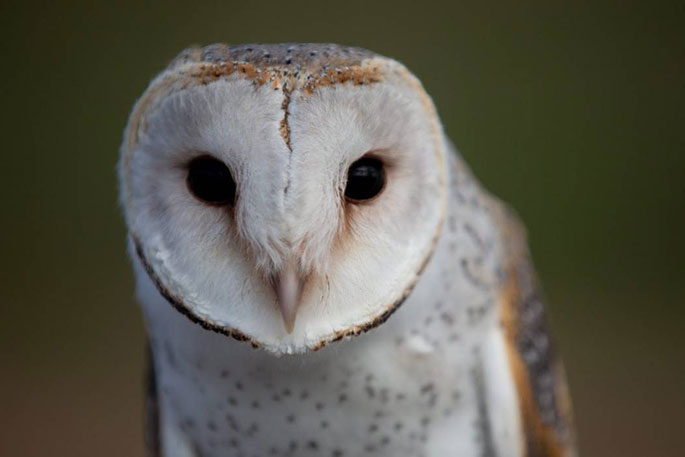 Sunlive Barn Owls Spreading Their Wings In Nz The Bay S News First