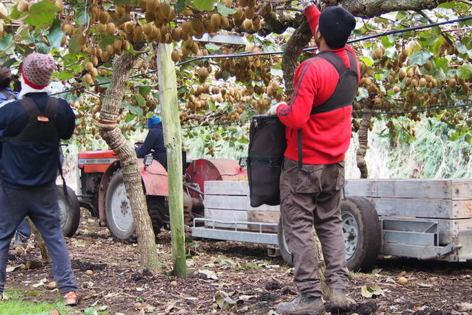 Sunlive Kiwifruit Industry S Big Push For Seasonal Labour The Bay S News First