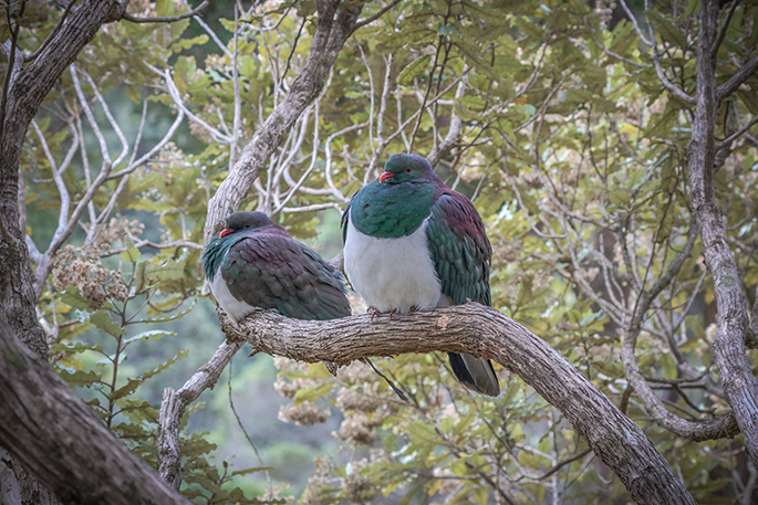 The Great Kereru Count 2019 is coming!